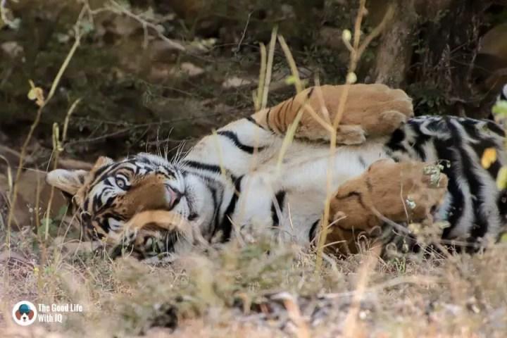 tiger - Ranthambhore safari