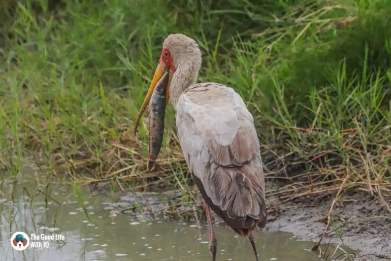 Kenya safari - Amboseli - Painted stork