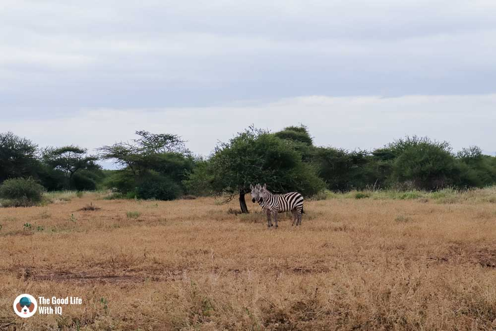 Kenya safari - Amboseli - Zebras