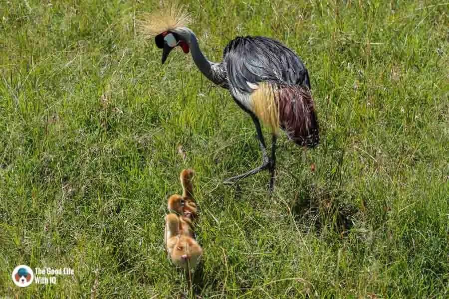 Kenya safari - Masai Mara - Crowned crane