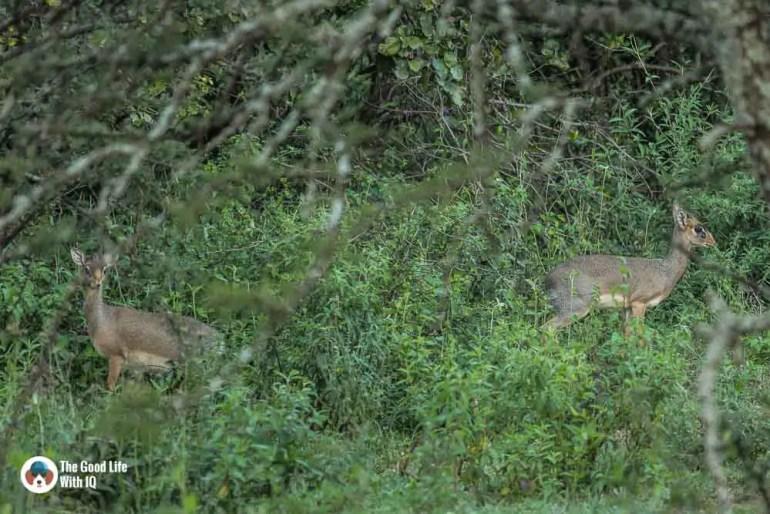 Kenya safari - Masai Mara - Dik-diks