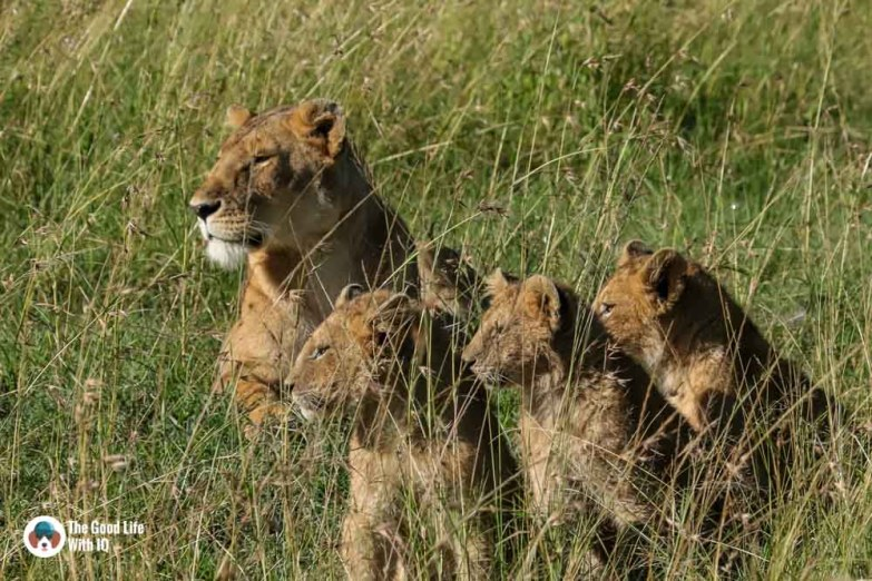 Kenya safari - Masai Mara - Lioness and cubs