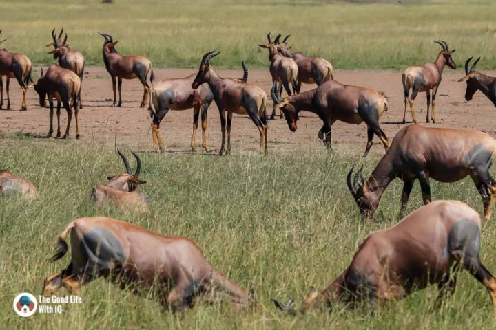 Kenya safari - Masai Mara - Topi