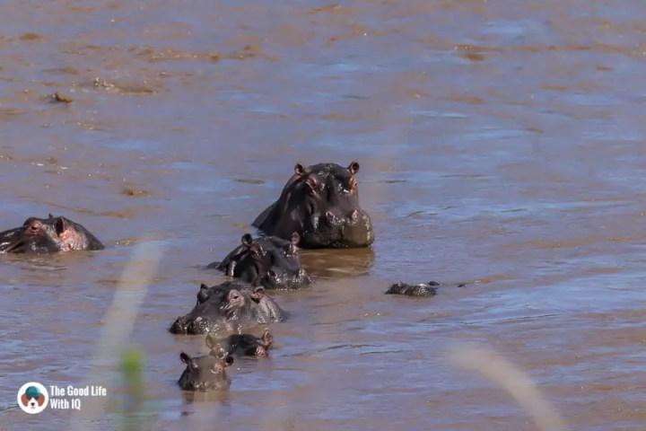 Kenya safari - Masai Mara - Hippos