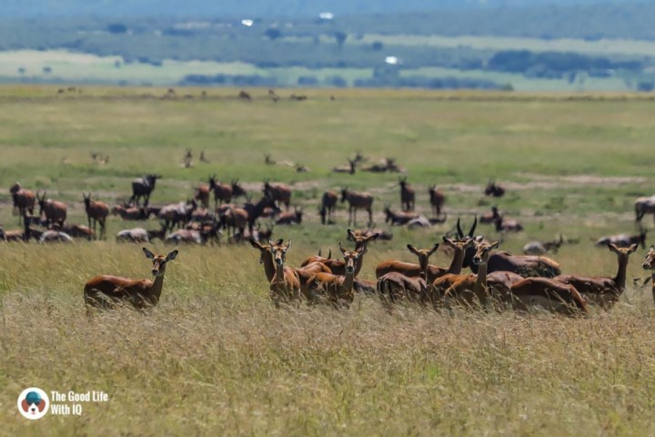 Kenya safari - Masai Mara - Impala, topi, wildebeest