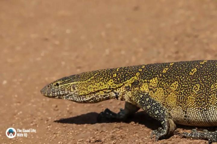 Kenya safari - Masai Mara - Monitor lizard