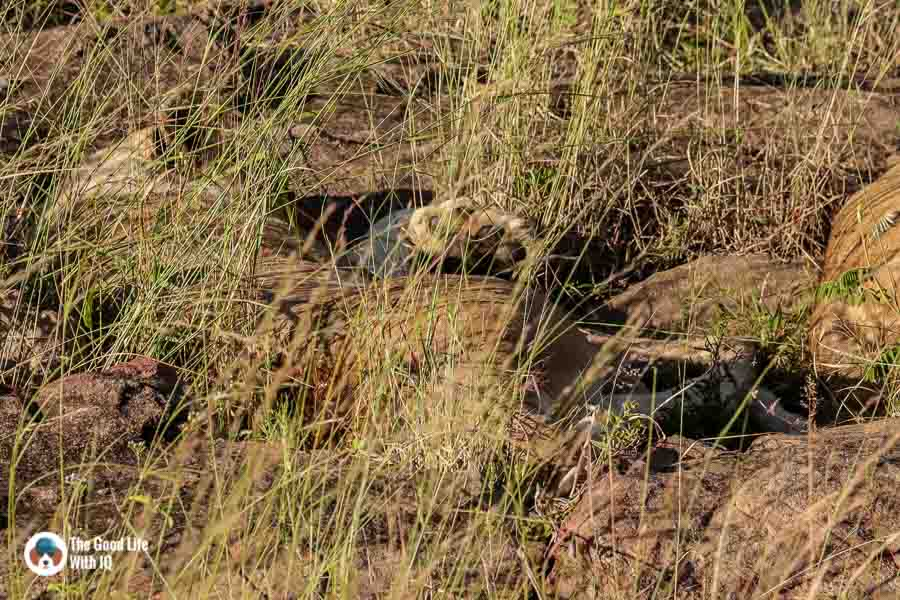 Kenya safari - Masai Mara - Lioness paw