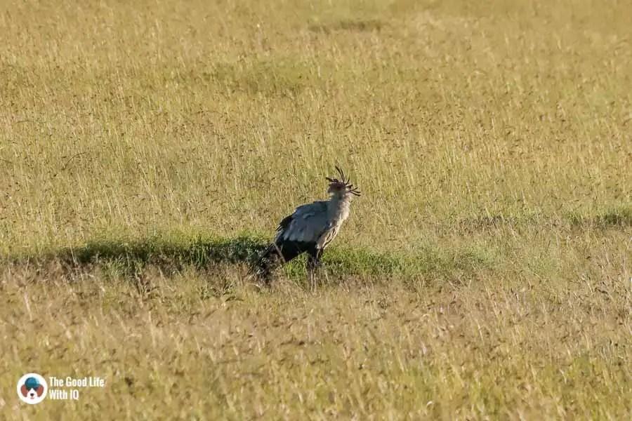 Kenya safari - Masai Mara - Secretary bird