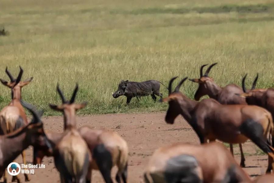 Kenya safari - Masai Mara - Warthog