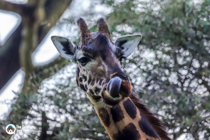 Kenya safari - Nakuru - Giraffe