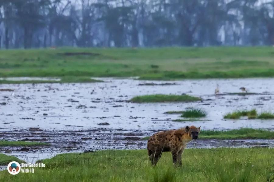 Kenya safari - Nakuru - Spotted hyena