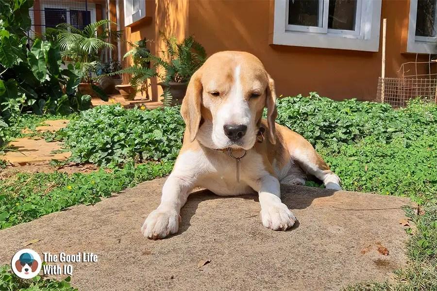 Sleepy doggie - Samsung Galaxy A7 camera review