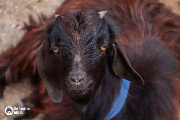 Goat, Naddi