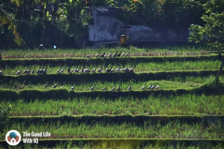 Ducks, Campuhan Ridge - Ubud, Bali