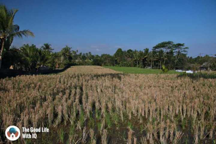 Fields, Campuhan ridge - Three days in Ubud, Bali