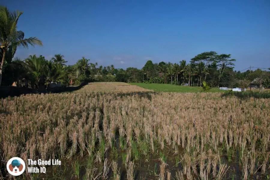 Fields, Campuhan ridge - Three days in Ubud, Bali