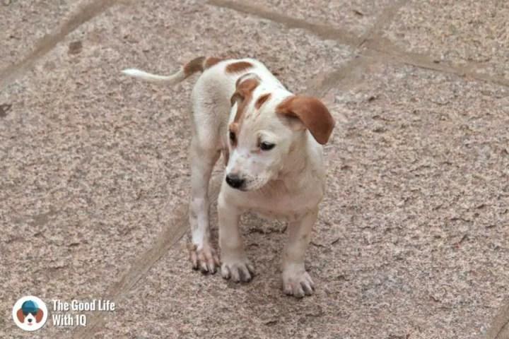 Puppy - Lepakshi temple