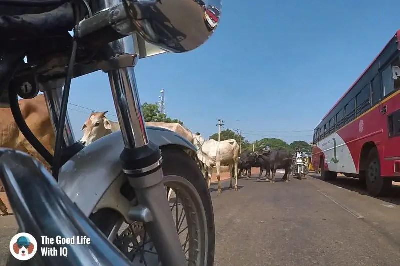 Cows -  - Hyderabad to Bidar road trip