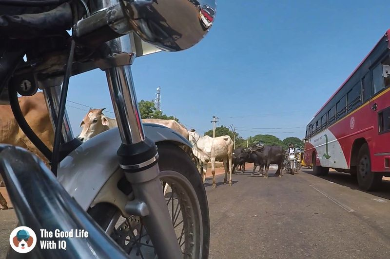 Cows - weekend motorbike ride to bidar