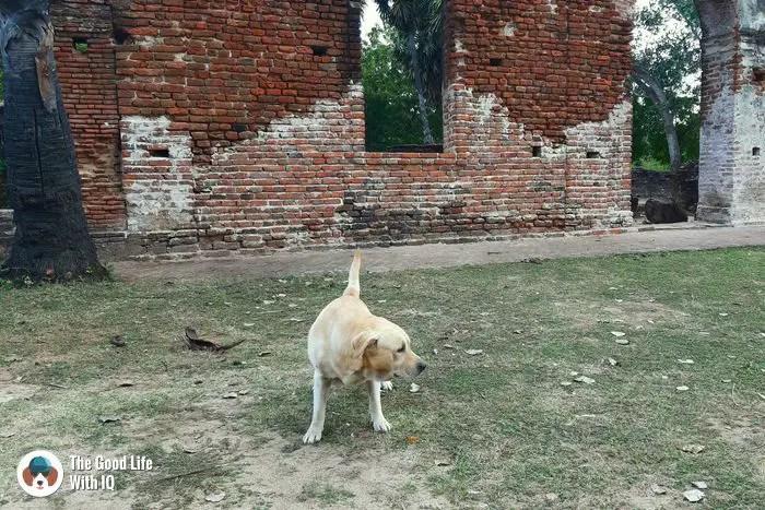 Doggie at Arikamedu, Pondicherry