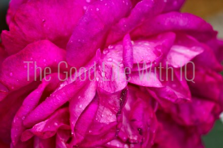 Close up of water droplets on a wilting rose flower