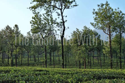 Tea plantation in the western ghats of south India