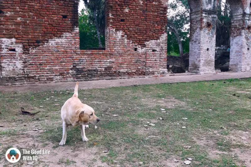 Doggie at Arikamedu
