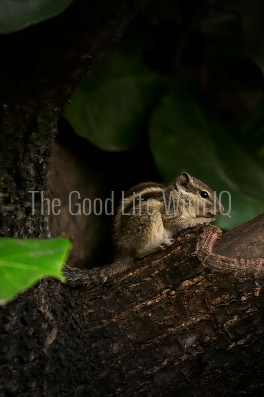 Close-up of Indian squirrel - Vertical (preview)