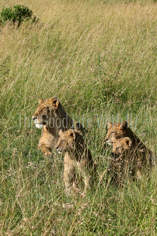 Lioness and three cubs - vertical image (preview)