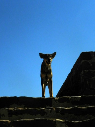 Doggie on ramparts - Lakhpat Fort