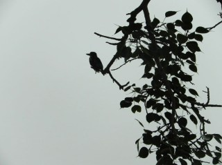 A white breasted kingfisher waits out the rain