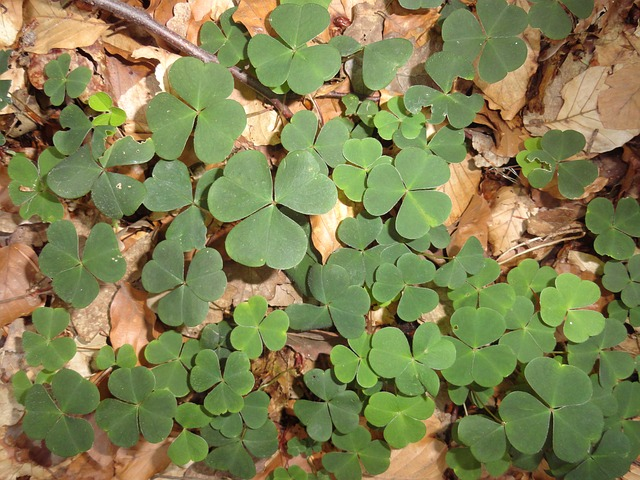 Clovers - or LUCKY clovers
