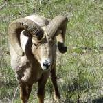 Finding Bighorn Sheep in Yellowstone