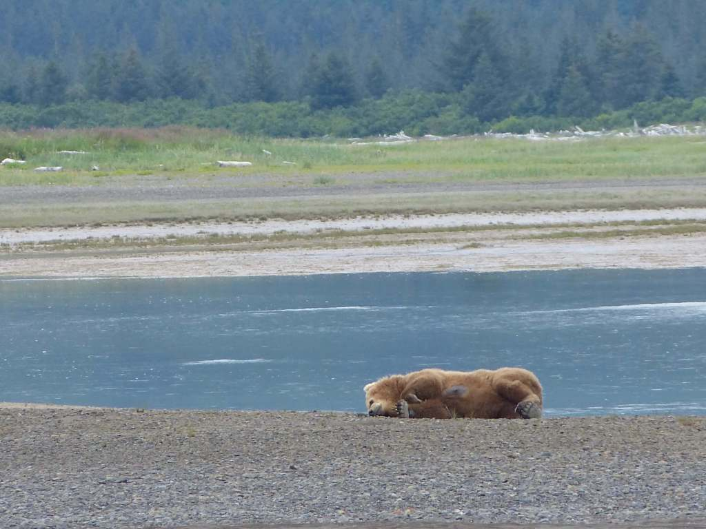 brown bear katmai