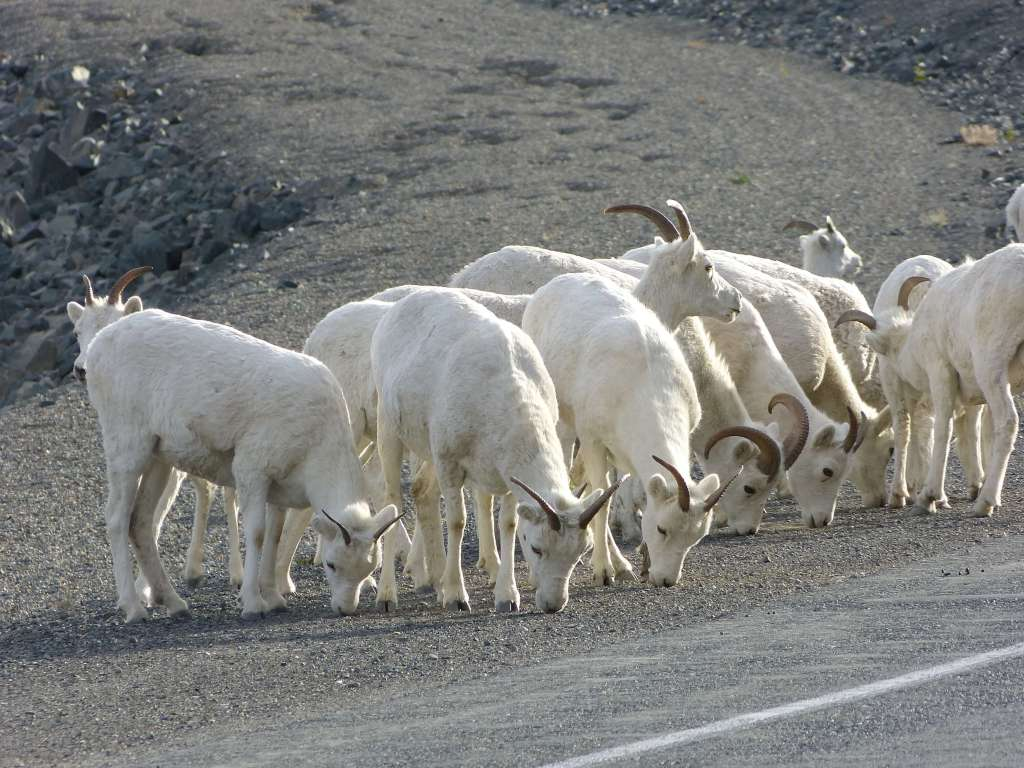 Dall Sheep