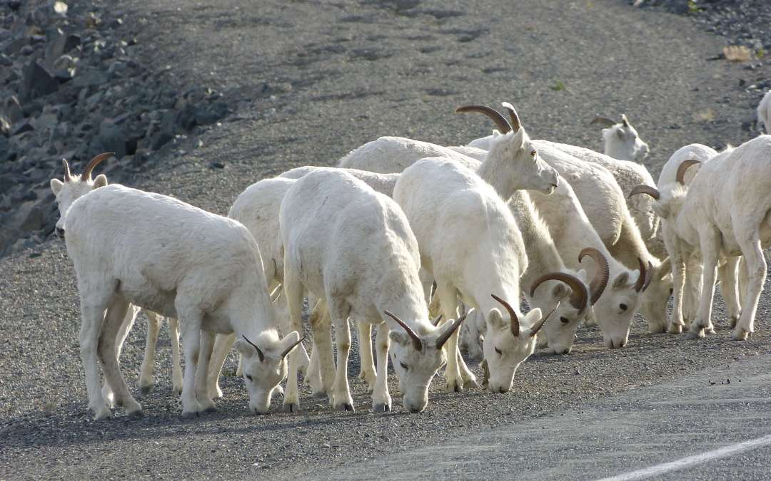 Dall Sheep: A Closer Look