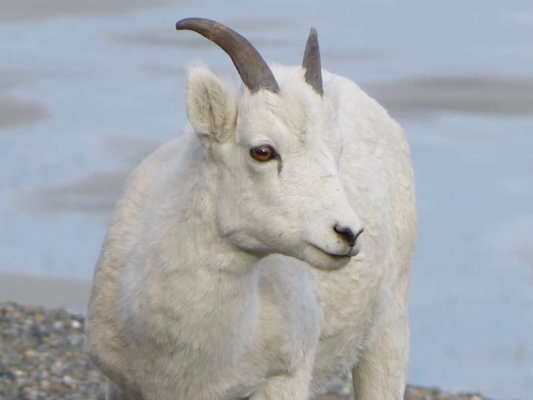Dall Sheep Kluane National Park