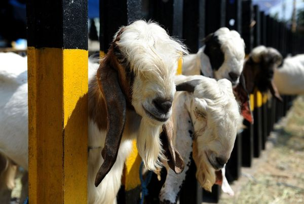 eid adha why sacrifice cattles in islam