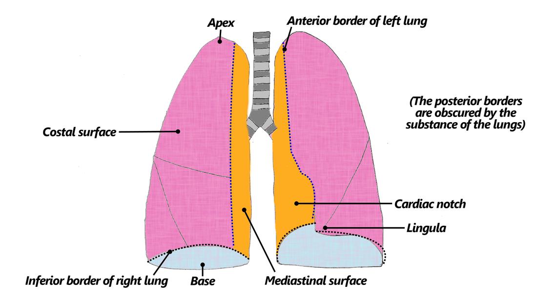 Left Lower Lobe Segmental Anatomy