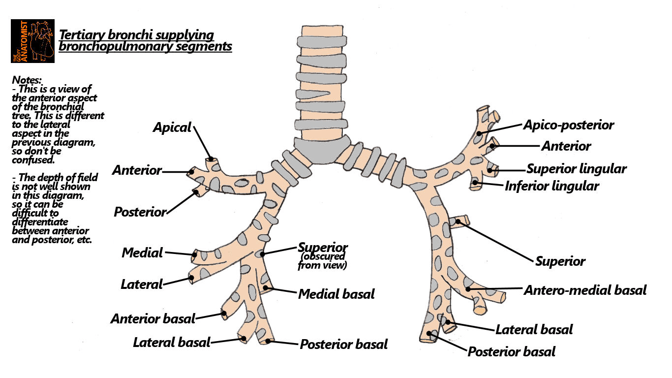 Liver Location Diagram Side