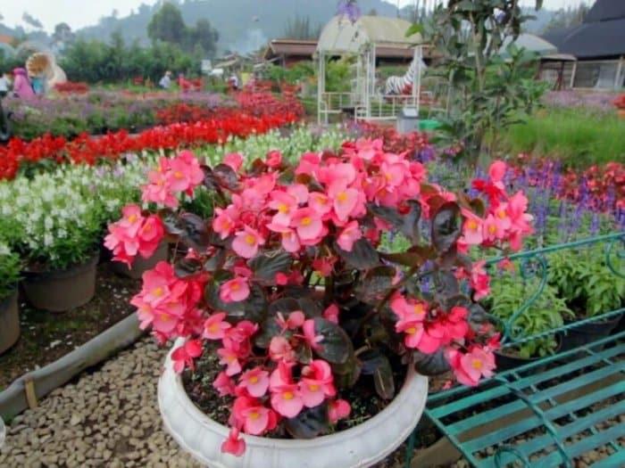 Gambar Bunga Begonia