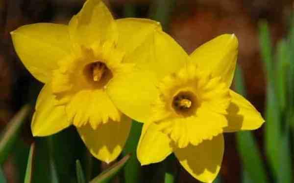 Gambar Bunga Daffodil