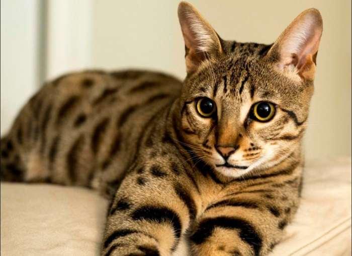 Jenis Kucing Sabana
