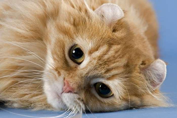 Jenis Kucing Telinga Ikal Amerika