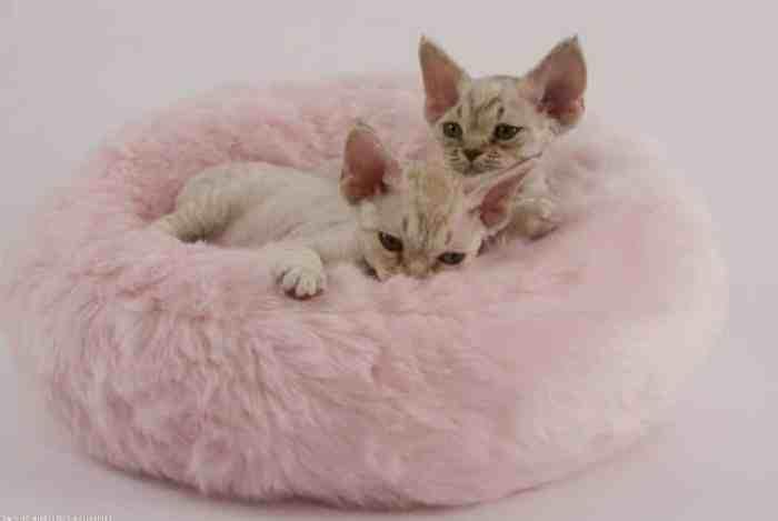 Jenis Kucing Rex Devon