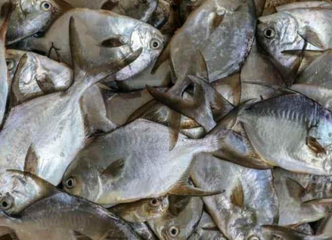 Ikan Bawal