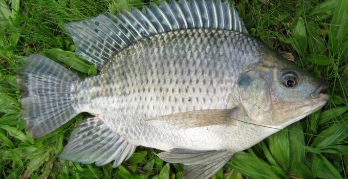 Ikan Nila Sila Best
