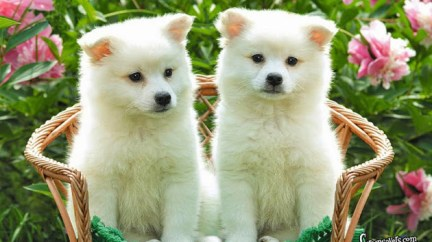 cute-american-eskimo-dog-puppies-wallpaper