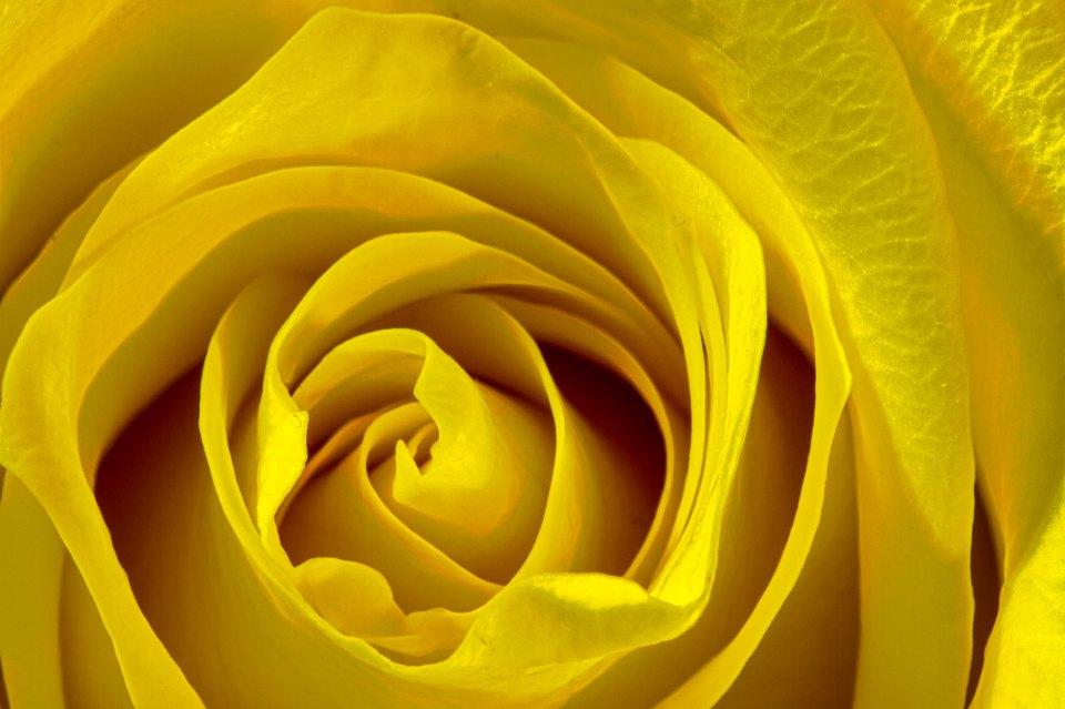 20150426_YellowRoseMacro-1_web