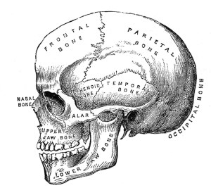 6 Skull Images  Vintage Anatomy Clip Art  Bones  The